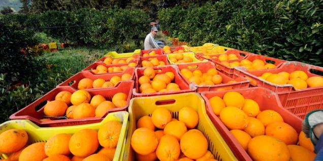 Italy, Sicily, Ribera, Oranges Harvesting